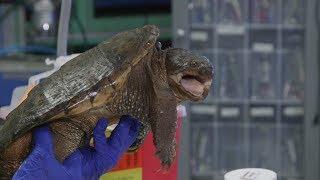 NC State turtle team rescues injured turtles