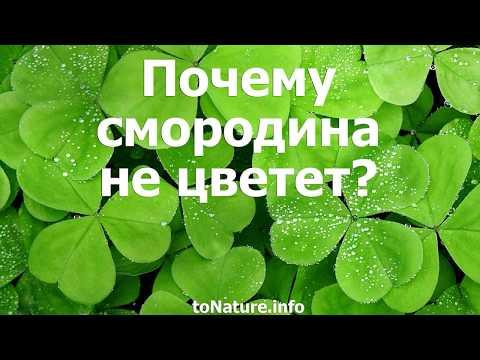 Почему смородина не цветет?