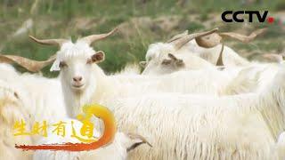 甘肃靖远:羊肉飘香 致富一方 「生财有道之咱们家乡有特产」 20201116 | CCTV财经 - YouTube
