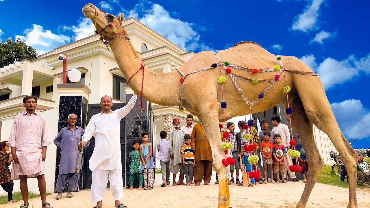 Camel Qurbani   3rd Day Eid Ul Adha   Mubashir Saddique   Village Food Secrets