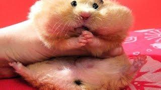 Подборка смешных приколов 2017 года с хомяками. A selection of jokes of 2017 with hamsters