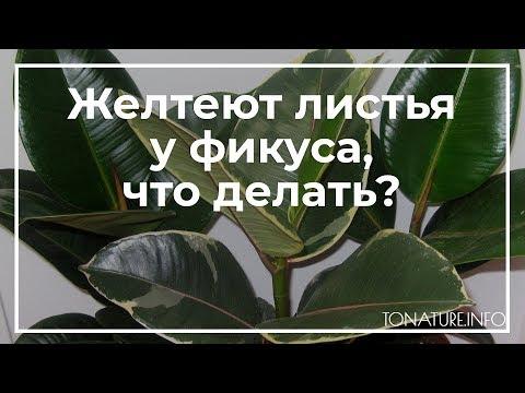 Желтеют листья у фикуса, что делать? | toNature.Info