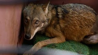No One Cares About Wolf Dying In Ditch, Until One Animal Lover Stops