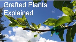 What Are Grafted Plants? The Alberta Urban Garden Explains