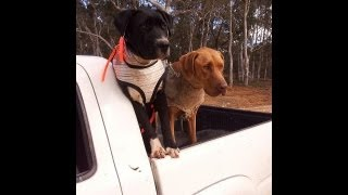 Pig hunting with dogs - Nsw