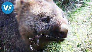 Tasmanien - Wissenswertes über die Insel bei Australien (Reisedokumentation in HD)