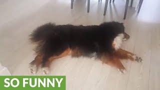 "Bernese Mountain Dog ""air swims"" on slippery surface"