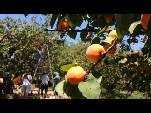 Apricot Picking at Two Sisters U-Pick Apricots in Easton, CA