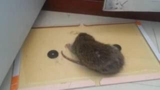 【閲覧注意】粘着シートにくっついたネズミが必死に脱出しようとします4 (mouse trap) thumbnail
