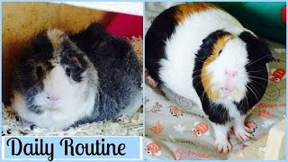 Daily Guinea Pig Routine | Summer 2016