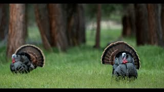 How to Find Turkeys to Hunt