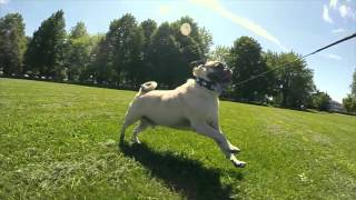 A Pug's Life. Gopro Edition