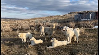 Guardian Dog Helps Suffocating Alpaca Be Found And Life Saved