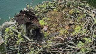 Audubon Osprey Nest Cam 06-18-2018 09:40:15 - 10:09:32