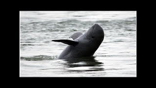 Threatened Cambodia river dolphins making 'historic' rebound