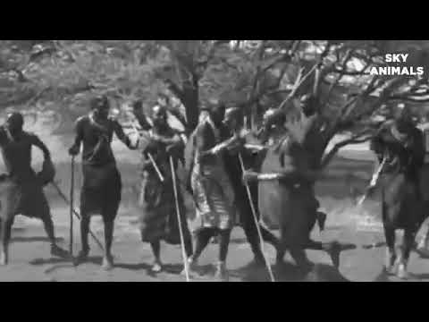 See how Maasai  warriors hunting LION