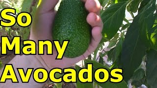 Avocado Tree Grown From Seed