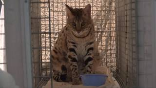 Welcome Another Savannah Cat To Big Cat Rescue