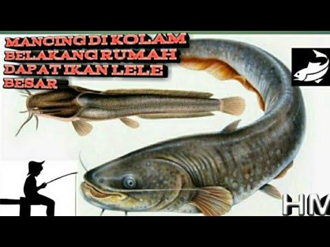 Mancing Dapat Ikan Lele Besar Youtube