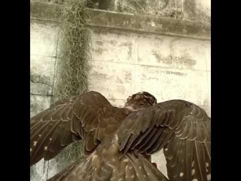 Manning falcon