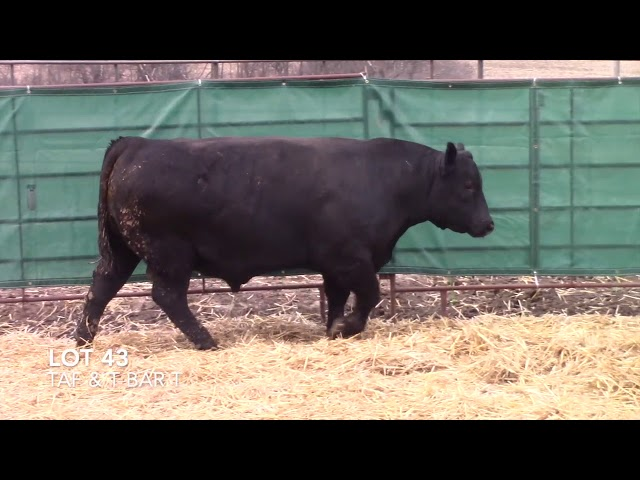 T Bar T and Taliaferro Angus Lot 43