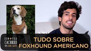 TUDO SOBRE A RAÇA FOXHOUND AMERICANO | BOM PRA CACHORRO