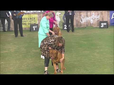 Dogue de Bordeaux Sydney Royal Dog Show 2019