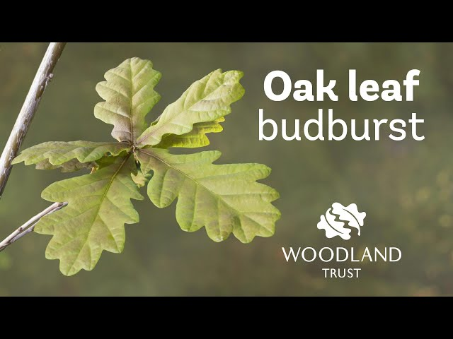 Oak leaf budding Timelapse | Woodland Trust
