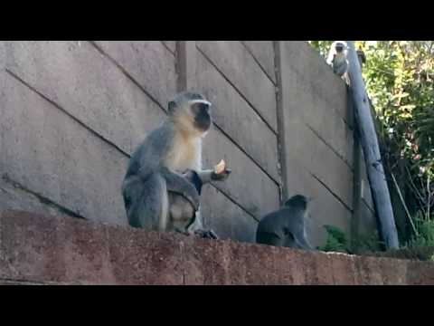 Vervet Monkeys (with baby) - Durban South Africa