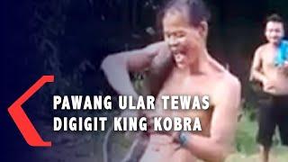 VIRAL! Pawang Ular Tewas Digigit King Kobra