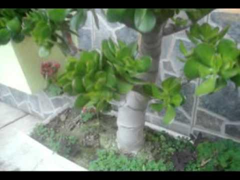 Jardin mary presenta el jade youtube for Arboles y plantas para jardin