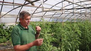 COMMENT TUTEURER LES TOMATES - SERRES NATURAL