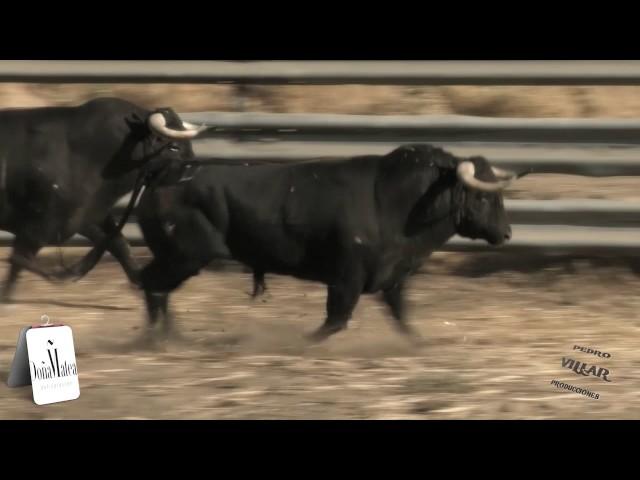 Toros de Soto de la Fuente para Vitigudino 2017