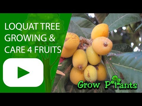 Loquat tree - growing and care for fruits
