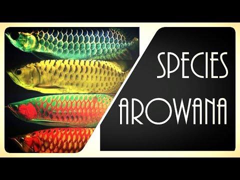 Arowana | Types of Arowana Fish | Arowana Species | Asian Arowana | Silver Arowana | Red Arowana
