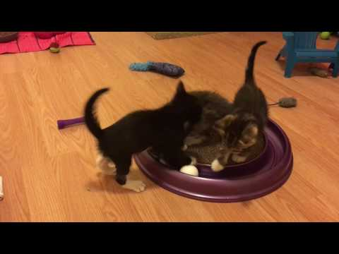 Willow and her 5 Week Old Kittens! Playing in Foster Kitten Room!
