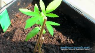 My New RQS Autoflowering Plants - Royal Cheese Automatic , Amnesia Automatic & Diesel Automatic