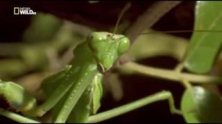 Удивительные насекомые (Богомол)