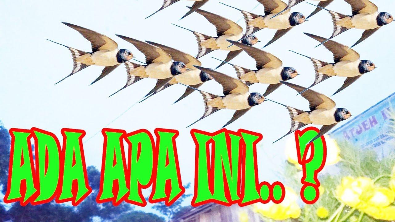 Apakah Ini Tanda Bisnis Akan Sukses Kedatangan Burung Walet Mitos Atau Fakta Youtube