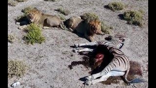 Намибия #2. Сафари. Львы съели зебру на наших глазах! Парк Этоша. Дикая природа Африки