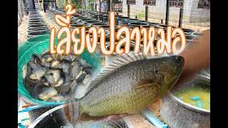 เลี้ยงปลาหมอชุมพรในบ่อซีเมนต์เลี้ยงง่ายราคาดีตัวใหญ่มาก
