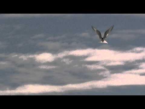 Common Tern Fishing At Radipole Lake