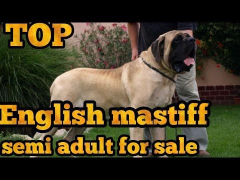 English mastiff for sale