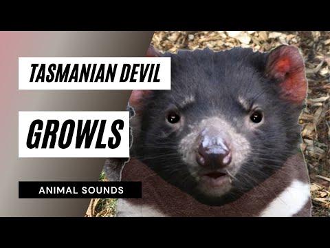 The Animal Sounds: Tasmanian Devil Growls - Sound Effect - Animation