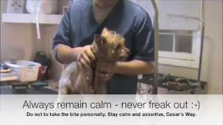 Grooming An Aggressive Yorkie (yorkshire Terrier): Part 2