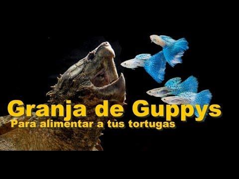 Reproducci n de peces como alimento para tortugas for Granja de peces