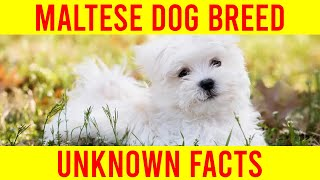 Maltese Dog Breed  10 New Facts You Need To Know