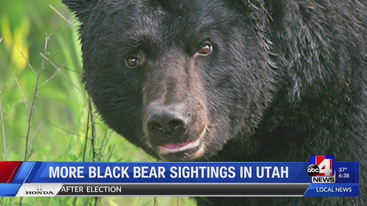 More black bear sighting in Utah