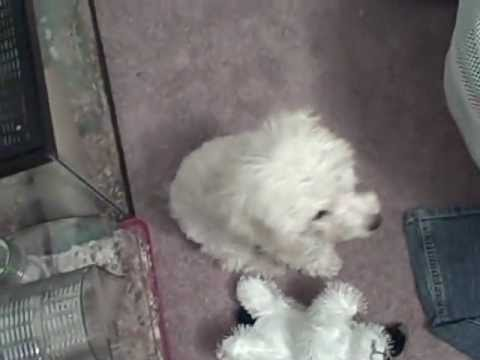 Toy poodle puppies barking