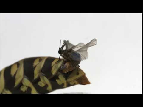 Strepsiptera mating